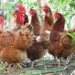 Raising Backyard Chickens in Guelph